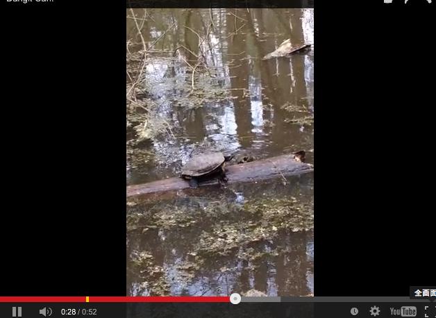 【動画】木の棒の上でバランスをとるカメが愛おしいw