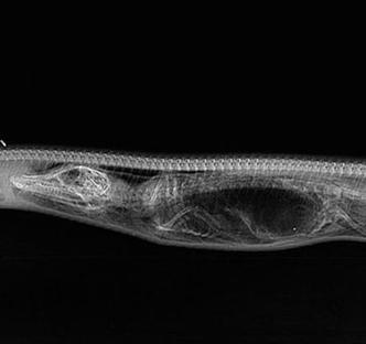 【画像】 ワニを丸呑みしたニシキヘビを毎日X線撮影してみた