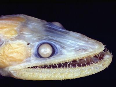 【画像】古代魚・深海巨大生物・UMAの画像貼ってけ!!