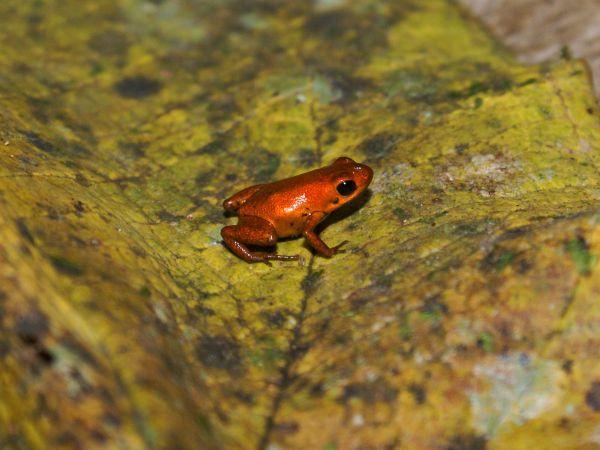 【画像】ヤドクガエルの新種がパナマで発見される[09/24]