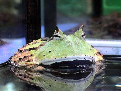 【画像】ツノガエルの舌が持つ驚異の粘着力の秘密とは?