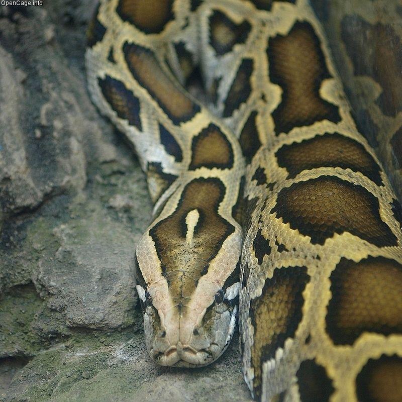 【画像】フロリダで巨大ビルマニシキヘビが発見される