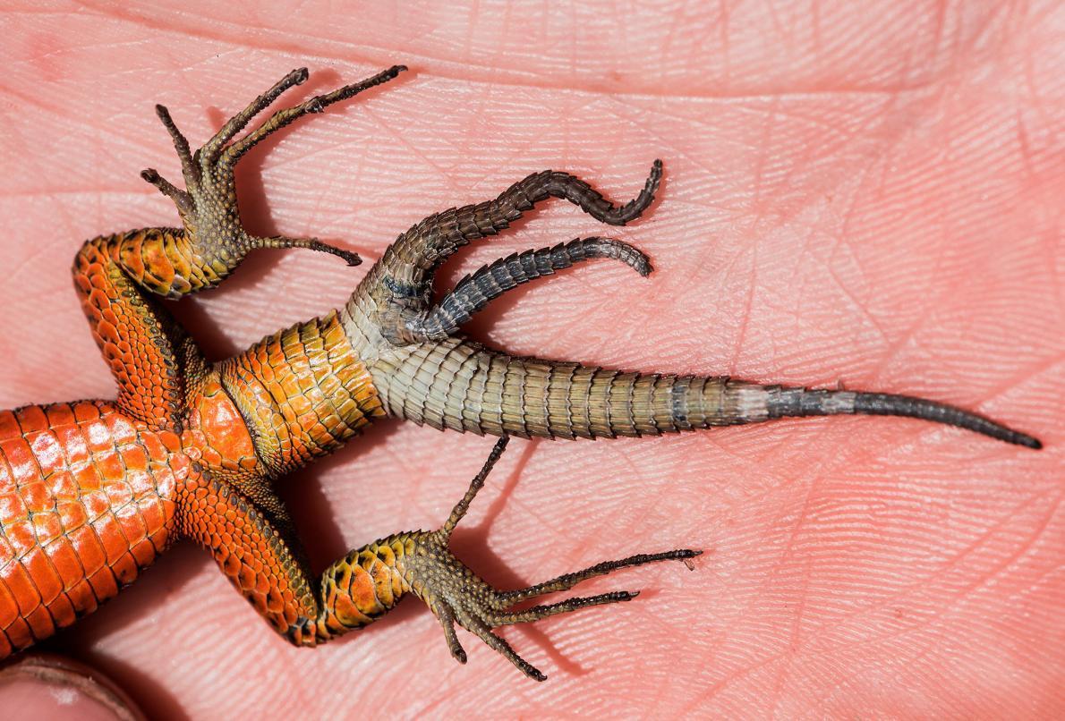 【ニュース】3本の尻尾をもつトカゲが発見される