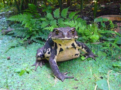 【画像】カエル捕まえてきたンゴwwwwwwww