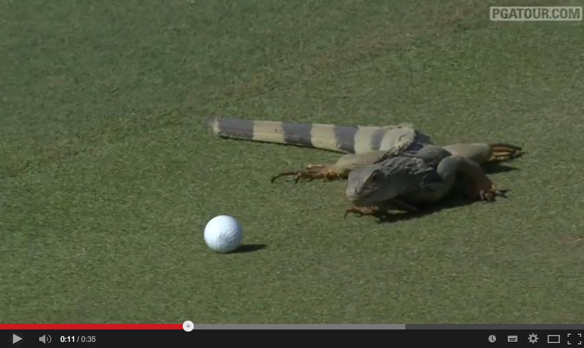 【動画】ゴルフの邪魔をするイグアナが可愛いwwww
