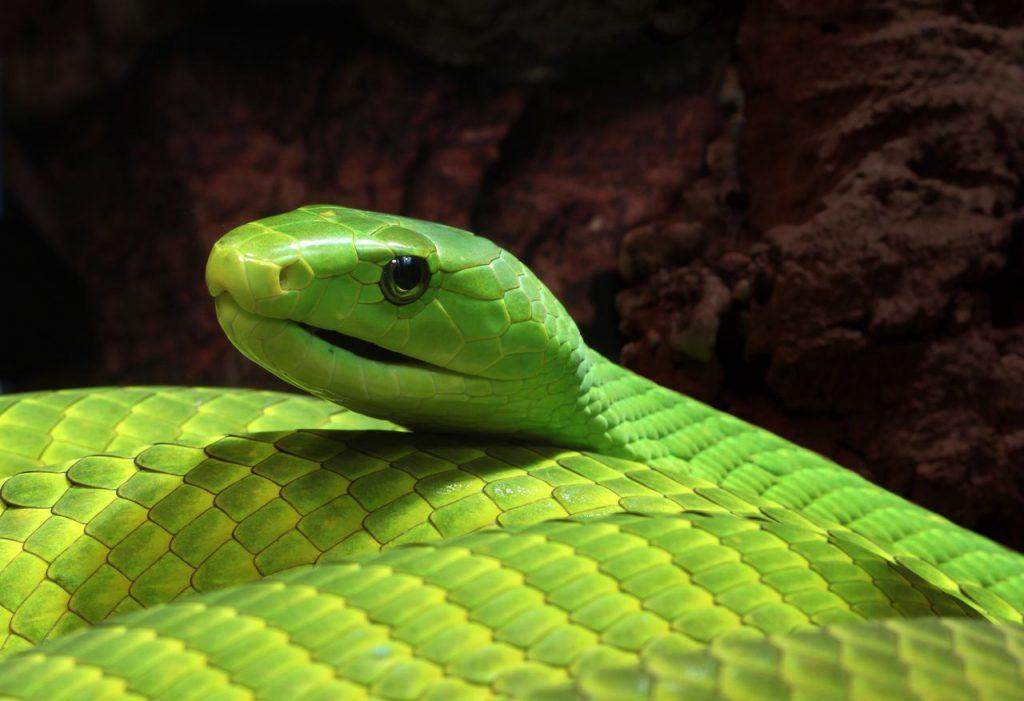 【画像】かっこいい名前の毒ヘビで打線組んだ