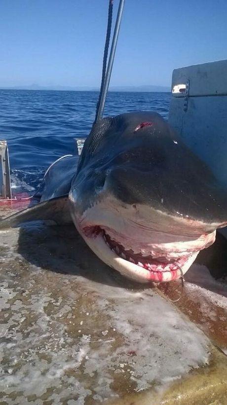 【画像】オーストリアで体長6mの超巨大イタチザメが上がる!!