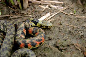 【画像】お前ら毒ヘビ見つけたんだがここからどうしよう