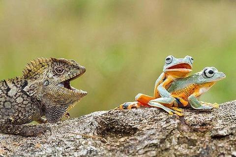 【衝撃画像】トカゲ、カエルの交尾を見つめる インドネシア