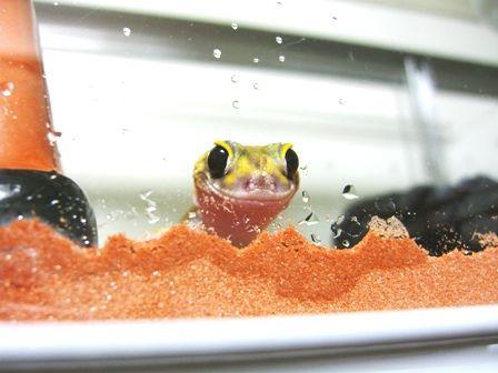【疑問】爬虫類かわいいとか抜かす奴なんなの?