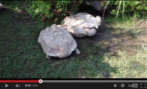 【画像】動物園でひっくり返ったカメを仲間のカメが助ける