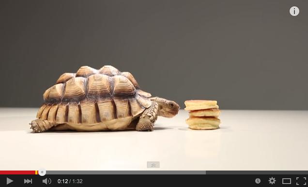 【動画】パンケーキを食べるリクガメが可愛い
