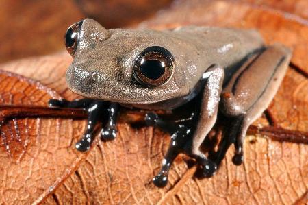【画像】南米でカエルなど60新種発見!!