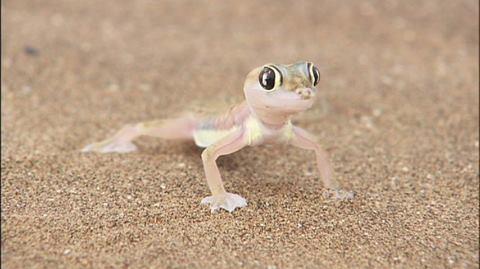 【画像】砂漠にいるめっちゃ可愛いトカゲ