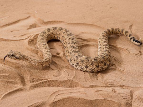 ガラガラヘビの動き、ロボットに応用へ