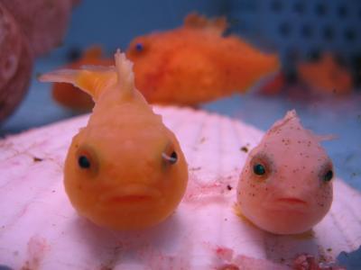 【画像】まんまるふわふわ、フウセンウオの稚魚がかわいすぎるwww