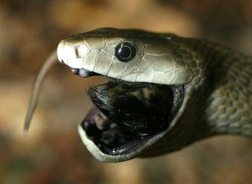【画像】世界一人名を奪う殺人ヘビ、ブラックマンバ