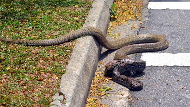 【動画】コブラ vs パイソン シンガポールの路上で激写!