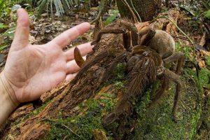 【動画】世界最大の巨大な蜘蛛・・・
