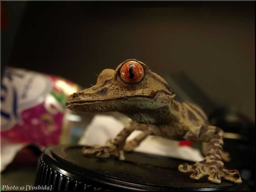 【画像あり】マニアックな爬虫類を飼ってる人集まれ!