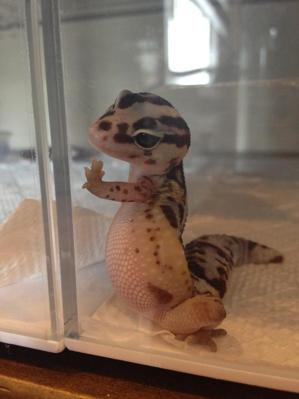 【画像】トカゲの赤ちゃんの「壁ドン」がかわいすぎる! 飼いたくなったじゃん…