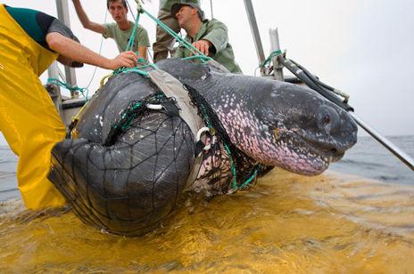 【閲覧注意】巨大カメ「オサガメ」の口内がヤバすぎる・・・