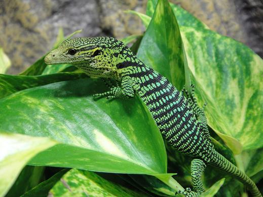 【飼育】爬虫類飼ってみたい!でもエサが・・・おすすめは?