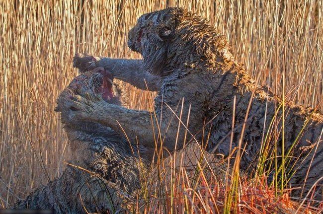 【衝撃画像】トラの本気喧嘩が激写される!! 怖すぎる・・・