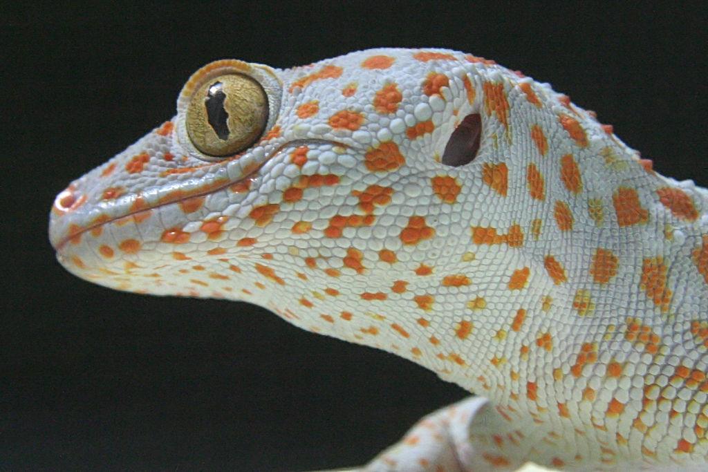 【飼育】値段の安いトカゲとかヤモリとか教えてくれ!