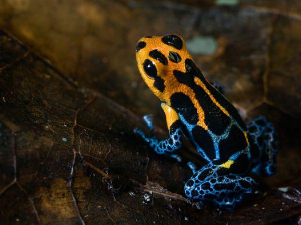 【画像】麗姿!マネシヤドクガエル、別種へ分化中か ペルー