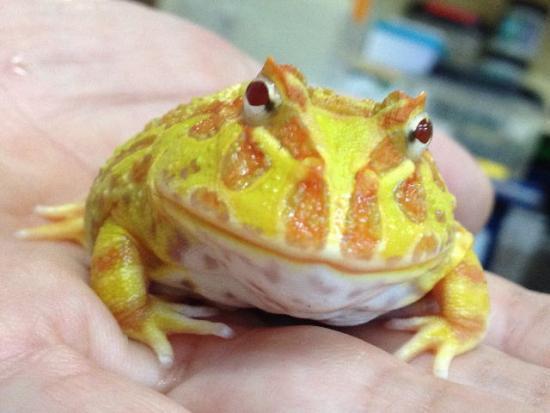 【画像】我が家のツノガエルをUPする!