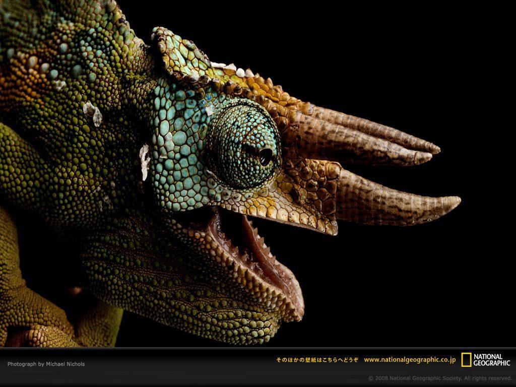 【画像】トリケラトプスの先祖!? ジャクソンカメレオン