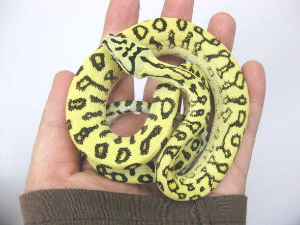 【画像】「Mr.爬虫類」の俺が魅力を伝えに来たけどなんか質問ある?