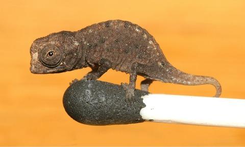 【画像】マッチ棒に乗る、世界最小爬虫類ミニカメレオンが可愛過ぎ!!