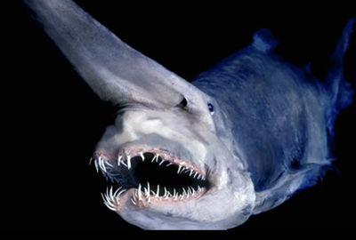 【画像あり】深海に棲む珍しい「ミツクリザメ」相模湾で捕獲!