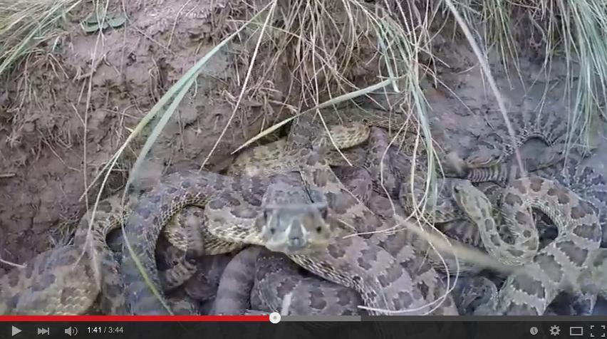 【閲覧注意】ガラガラヘビの巣を撮影中!カメラを落とすハプニングもww