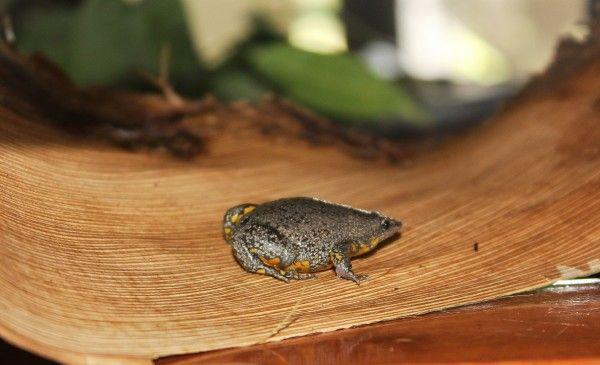 【画像あり】水泳プールで新種の地中生カエルを発見