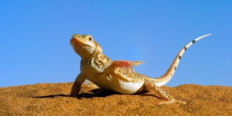 砂漠のトカゲが足バタバタさせる理由wwwwww