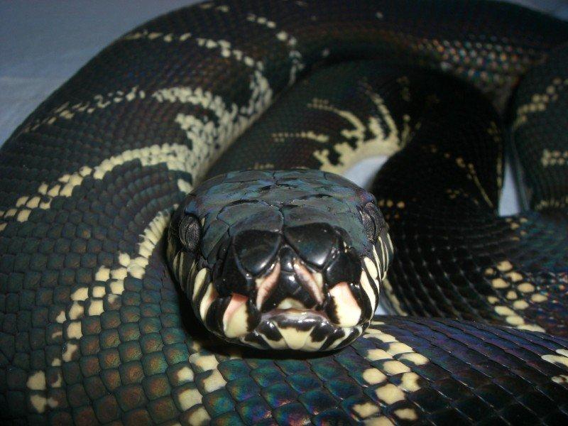 【画像】地味に好きな爬虫類ってなに?