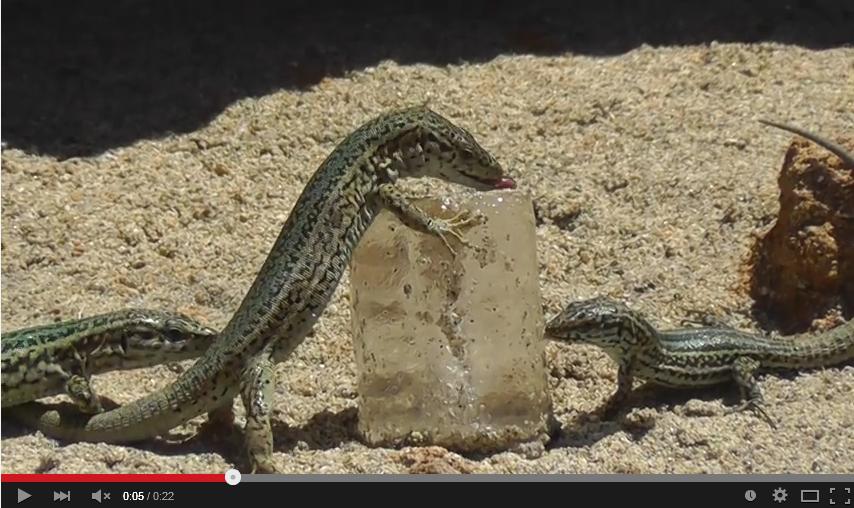 【動画】氷をなめる三匹のトカゲが可愛い過ぎる