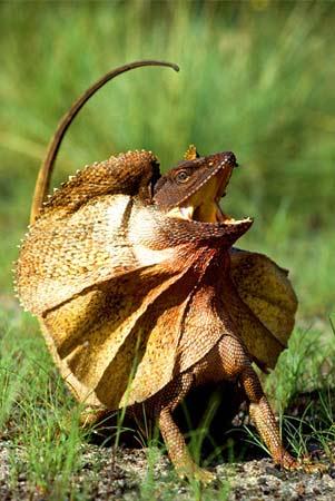 【画像】爬虫類唯一の二足歩行!エリマキトカゲ