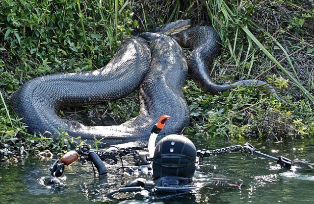 【画像】本物?!超巨大なヘビの画像が怖すぎる・・・