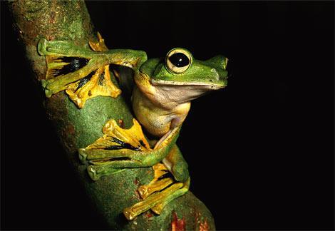 【画像】15メートル以上も飛ぶカエルがいるって本当??