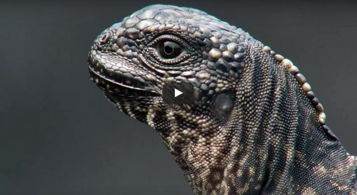 【動画】イグアナがヘビの大群から逃げる姿が映画過ぎる