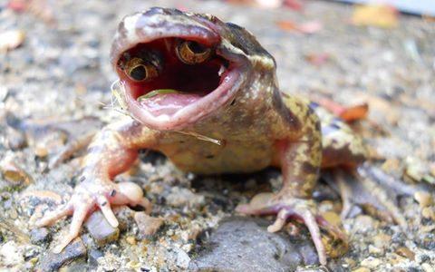 【閲覧注意】口の中に目玉を持つ奇形のカエルが海外で発見される