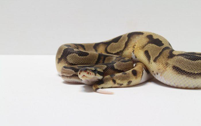 ヘビの飼育方法と飼育器具紹介 part1