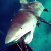 【動画】オオメジロザメに襲われるダイバーの視点が怖過ぎる