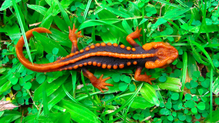 【画像】メコン川流域で新種の爬虫類等合わせて163種が発見される!