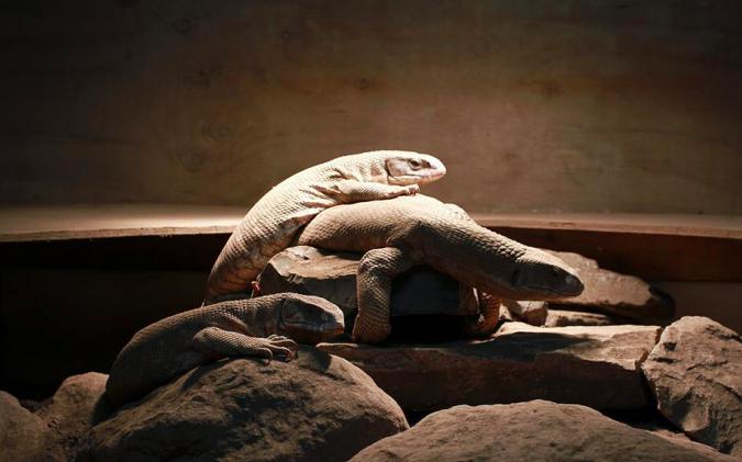 【ペットにできる爬虫類】サバンナモニターの飼育方法と特徴