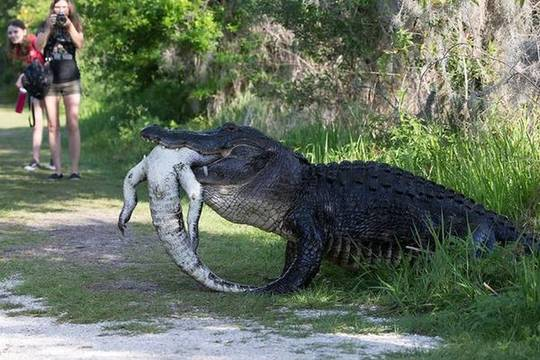 【画像】巨大なワニが「ありえないモノ」を補食 アメリカ